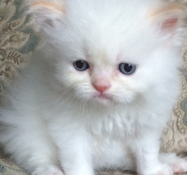 Khloe's Kittens – Persian kittens for sale – Himalayan kittens for