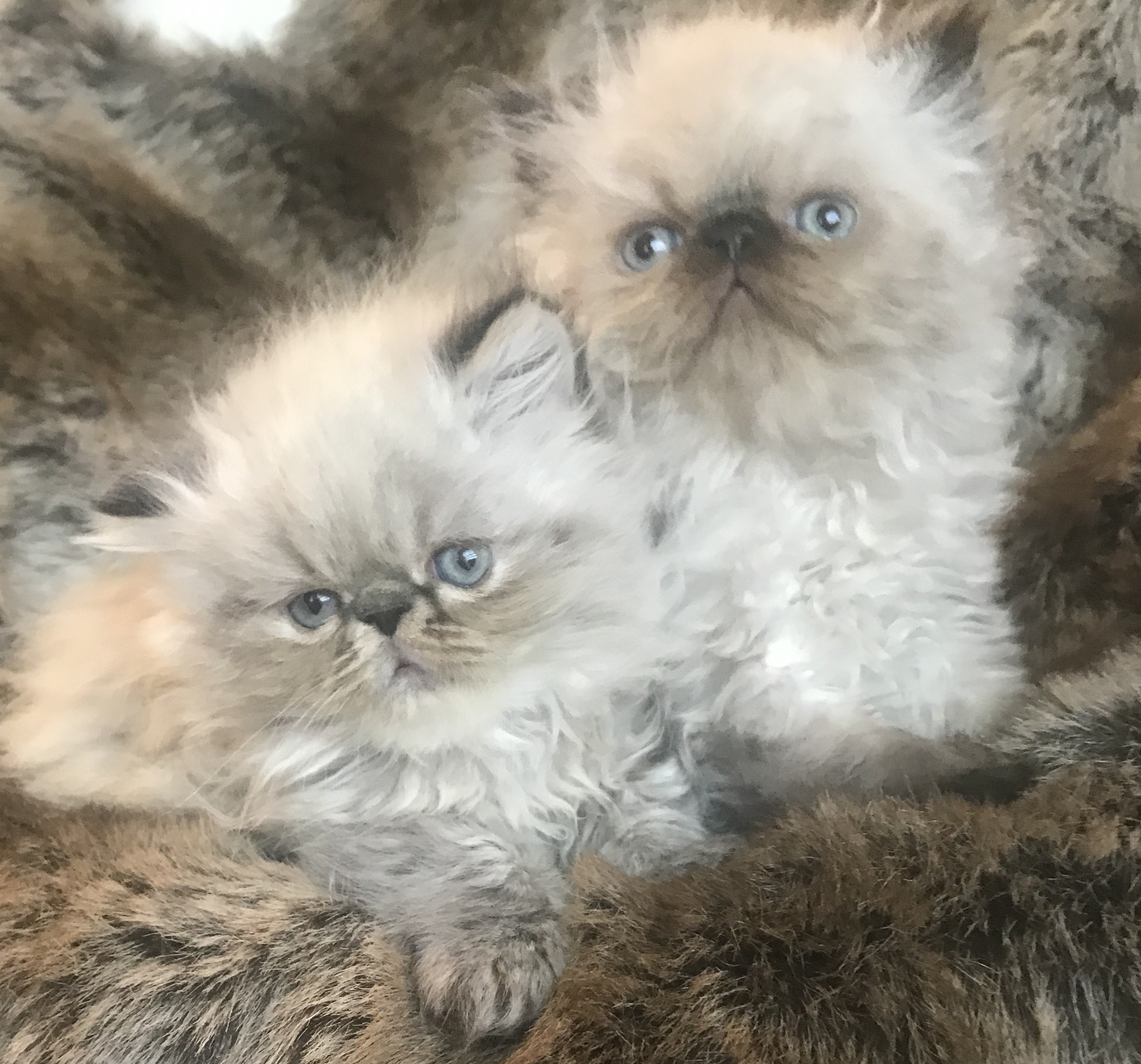 Khloe's Kittens – Persian kittens for sale – Himalayan