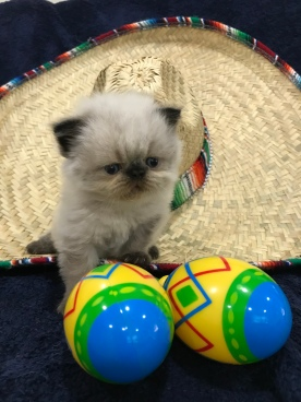 Available Persian and Himalayan kittens for sale – Khloe's